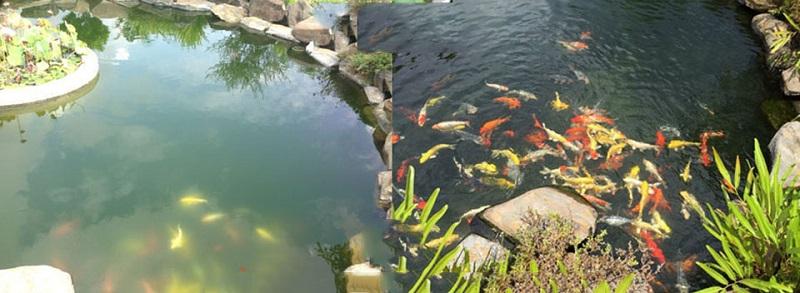 Nếu mực nước và chất lượng nước trong bể cá không được đảm bảo an toàn, sẽ rất dễ xảy ra tình trạng cá Koi mắc phải những căn bệnh nguy hiểm